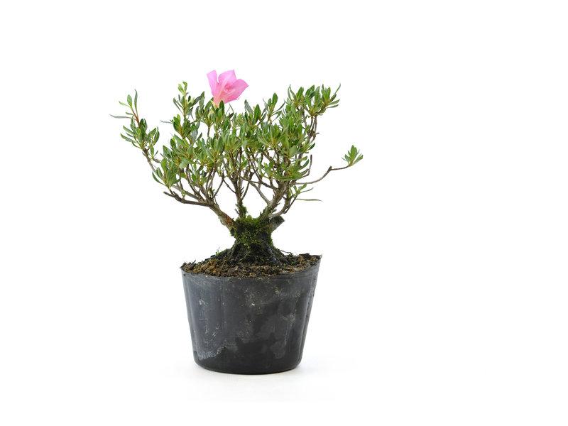 Japanse azalea (Chinzan), 18,1 cm, ± 6 jaar oud, met donkerroze bloemen