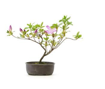 Japanese azalea, 20 cm, ± 4 years old