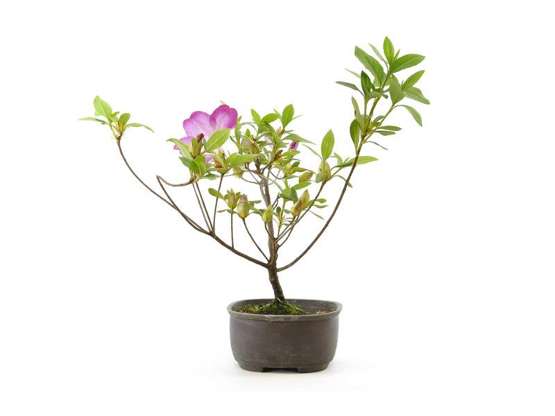 Japanse azalea, 20 cm, ± 4 jaar oud