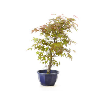 Japanese maple (Deshojo), 35 cm, ± 8 years old