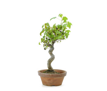 Trident maple, 24 cm, ± 8 years old
