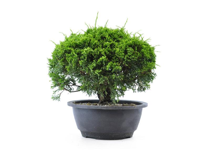 Chinese jeneverbes, 18 cm, ± 12 jaar oud