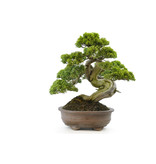 Chinese juniper (itoigawa), 32 cm, ± 35 years old, with a beautiful movement and nice deadwood