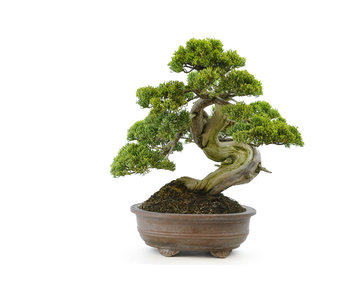 Chinese juniper (itoigawa), 32 cm, ± 35 years old
