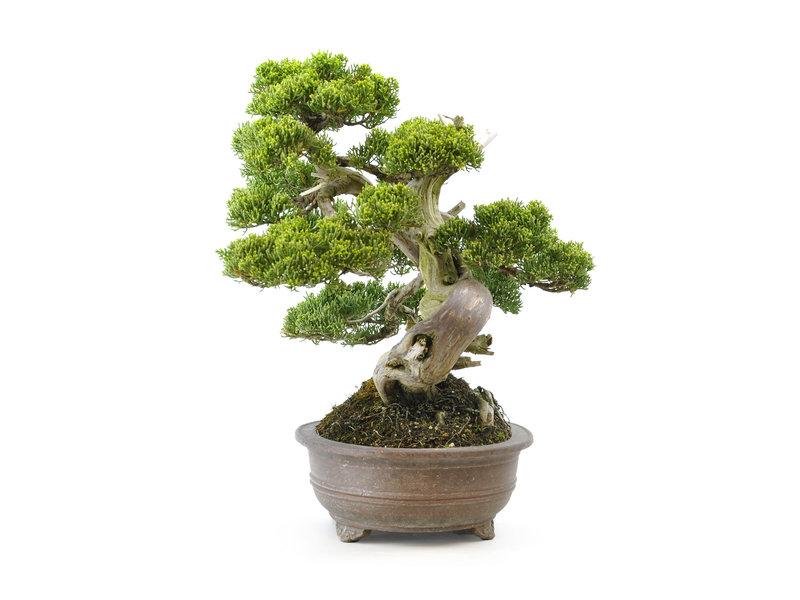 Chinese jeneverbes (itoigawa), 32 cm, ± 35 jaar oud, met een prachtige beweging en mooi dood hout