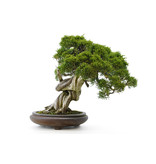 Chinese juniper (itoigawa), 26 cm, ± 35 years old, with a beautiful movement and nice deadwood