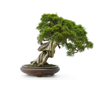 Chinese juniper (itoigawa), 26 cm, ± 35 years old