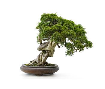 Enebro chino (itoigawa), 26 cm, ± 35 años