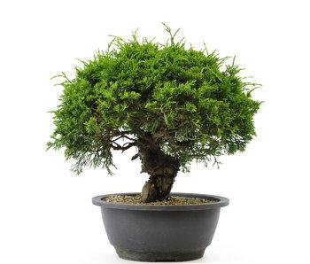 Chinese juniper (itoigawa), 20,1 cm, ± 12 years old