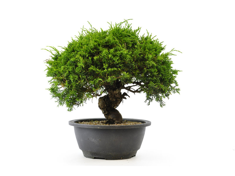 Chinese jeneverbes (itoigawa), 20,1 cm, ± 12 jaar oud