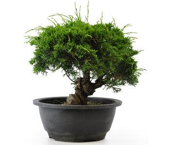 Chinese juniper (itoigawa), 20,2 cm, ± 12 years old