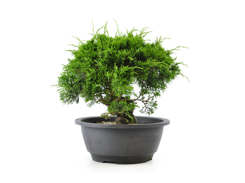 Chinese jeneverbes (itoigawa), 20,2 cm, ± 12 jaar oud