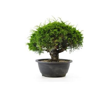 Chinese juniper (itoigawa), 20,3 cm, ± 12 years old