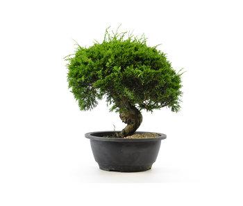Chinese juniper (itoigawa), 20,4 cm, ± 12 years old