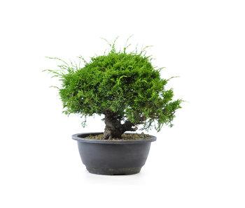 Chinese juniper (itoigawa), 20,5 cm, ± 12 years old