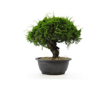 Chinese juniper (itoigawa), 20,6 cm, ± 12 years old