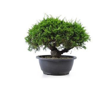 Chinese juniper (itoigawa), 20,8 cm, ± 12 years old