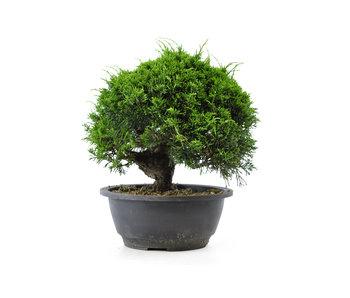 Chinese juniper (itoigawa), 20,9 cm, ± 12 years old