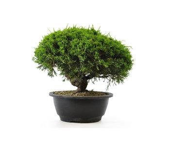 Chinese juniper (itoigawa), 21,2 cm, ± 12 years old