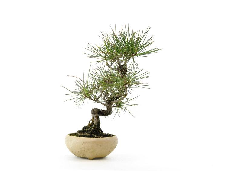 Japanese black pine, 25 cm, ± 15 years old