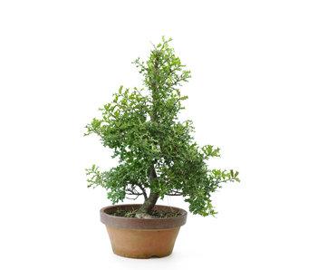 Evegreen deciduous tree, 42 cm, ± 12 years old