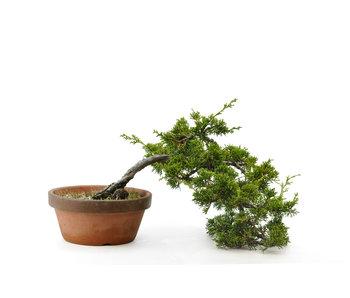 Chinese juniper (itoigawa), 25 cm, ± 10 years old