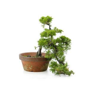 Chinese juniper (itoigawa), 34 cm, ± 10 years old