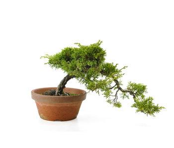Chinese juniper (itoigawa), 22 cm, ± 10 years old