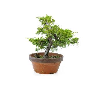 Chinese juniper (itoigawa), 24 cm, ± 10 years old