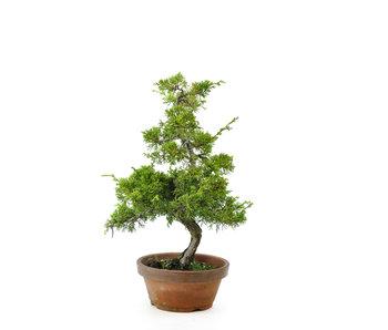 Chinese juniper (itoigawa), 36 cm, ± 10 years old