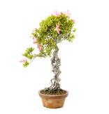 Japanse azalea, 42 cm, ± 25 jaar oud, met lichtroze bloemen