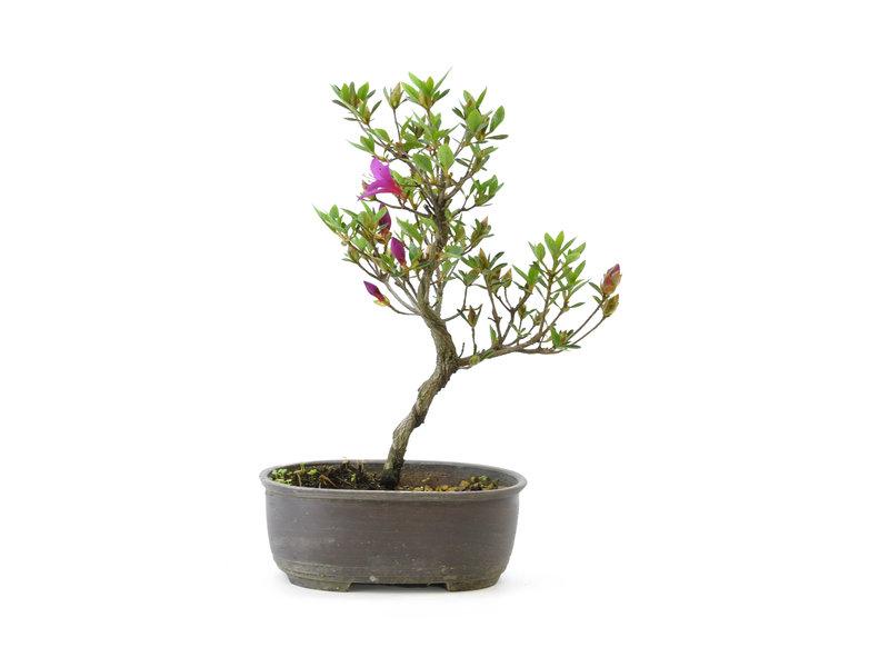 Japanse azalea (Konkikyo), 19 cm, ± 6 jaar oud, met dakroze bloemen