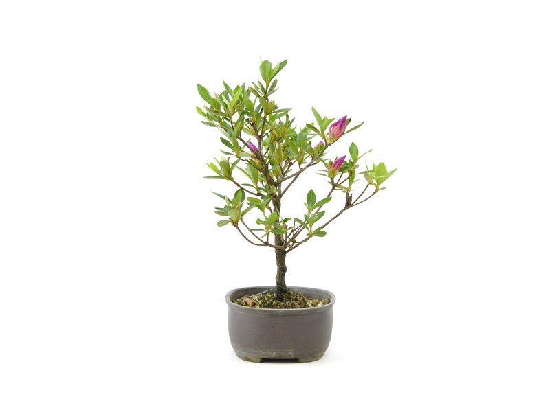 Japanse azalea (Konkikyo), 19,7 cm, ± 6 jaar oud, met dakroze bloemen