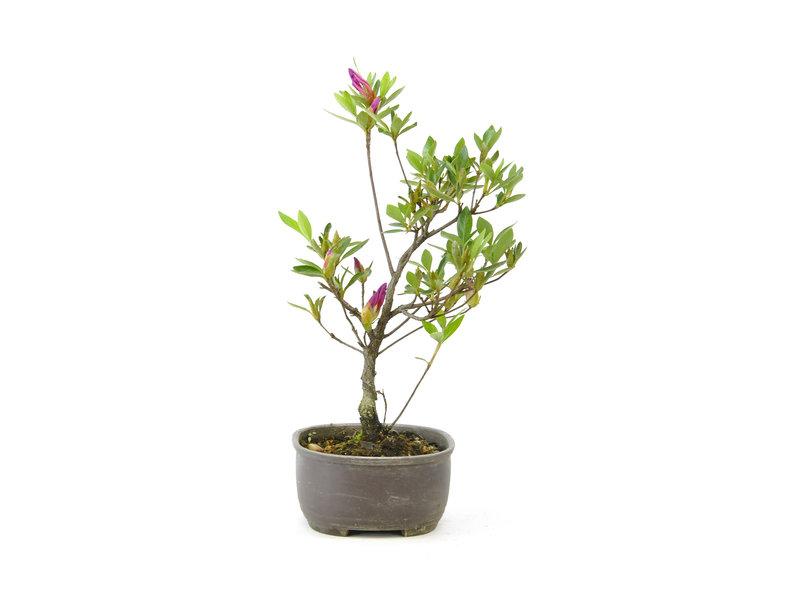 Japanse azalea (Konkikyo), 19,8 cm, ± 6 jaar oud, met dakroze bloemen