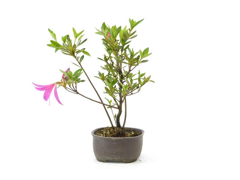 Japanse azalea (Konkikyo), 20 cm, ± 6 jaar oud, met dakroze bloemen