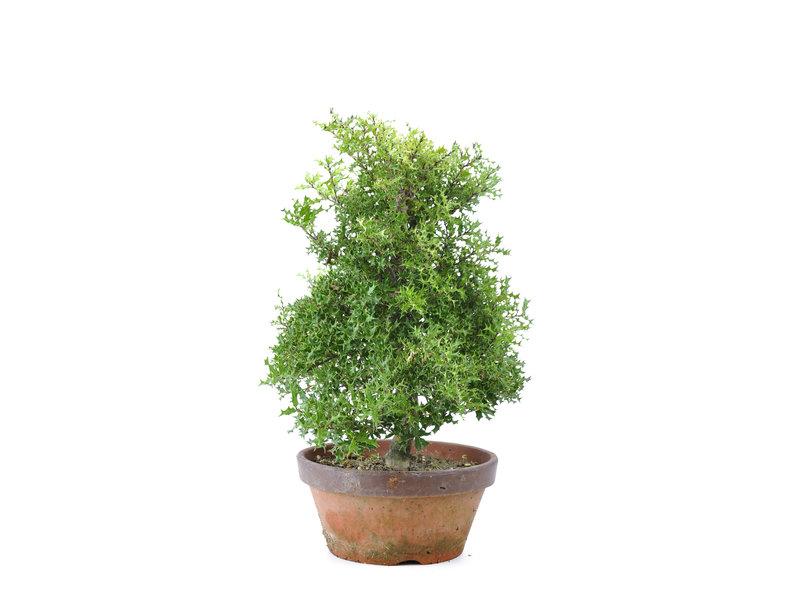Groenblijvende loofboom, 38 cm, ± 12 jaar oud, met rode bessen