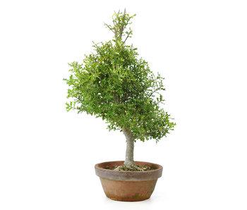 Árbol caducifolio de hoja perenne, 54 cm, ± 12 años de edad