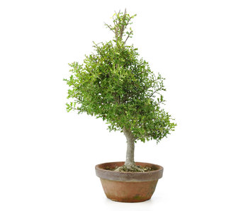 Groenblijvende loofboom, 54 cm, ± 12 jaar oud