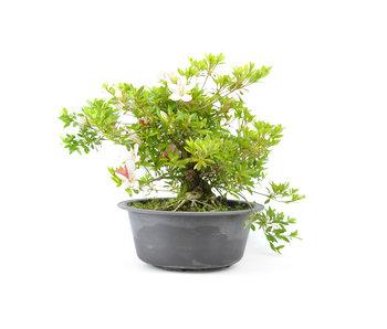 Japanese azalea (Matsuri no tuki), 26 cm, ± 15 years old