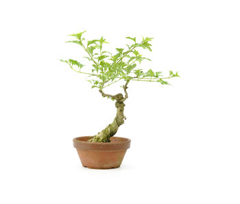 Headache tree, 25 cm, ± 10 years old