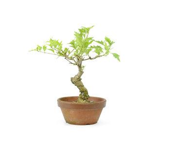 Headache tree, 18 cm, ± 10 years old