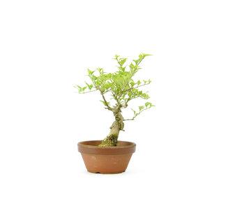 Headache tree, 21 cm, ± 10 years old