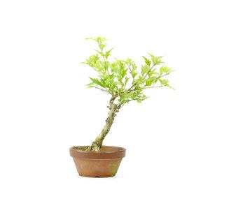 Headache tree, 25,1 cm, ± 10 years old