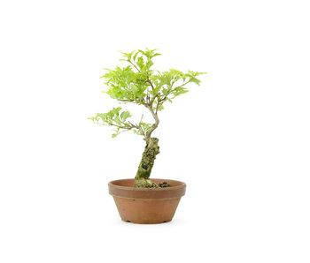 Headache tree, 22,5 cm, ± 10 years old