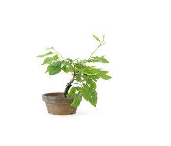 Kakiboom, 14 cm, ± 8 jaar oud