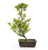 Japanse azalea (Tateyama no mai), 48 cm, ± 9 jaar oud