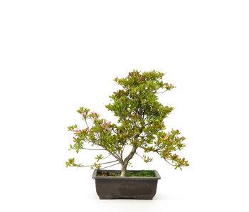Japanese azalea (Koun), 38 cm, ± 9 years old