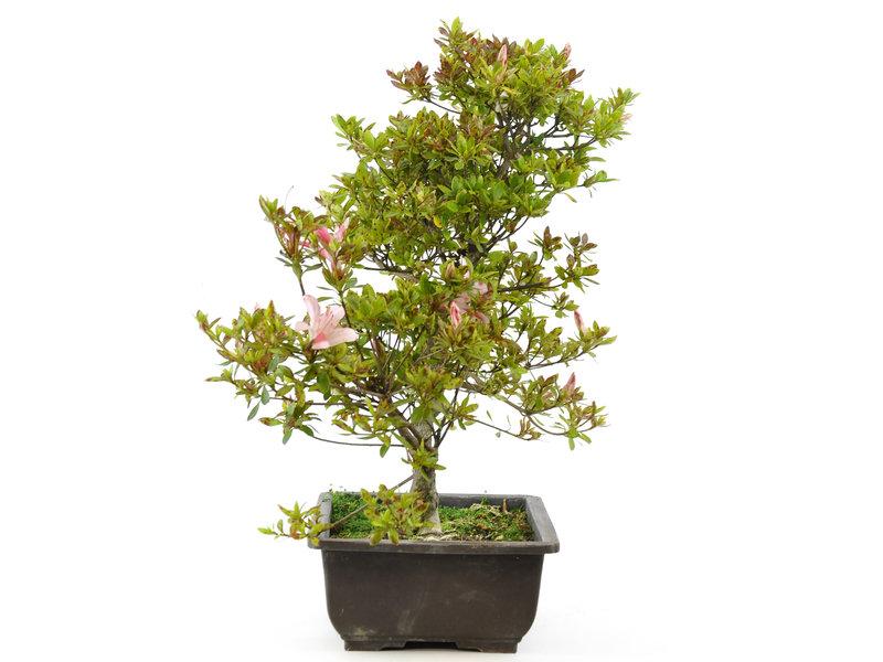Japanse azalea (Koun), 38 cm, ± 9 jaar oud