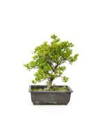 Japanse azalea (Kirameki), 31 cm, ± 9 jaar oud