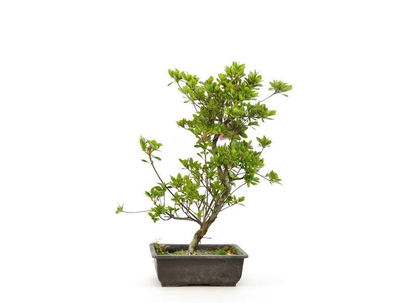 Japanse azalea (Hatsumago), 35 cm, ± 9 jaar oud